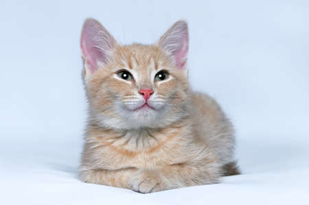 Portrait of the cute little red kitten looking at the camera on a gray background