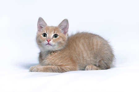 Little red ginger kitten lies on a gray background looks at the camera