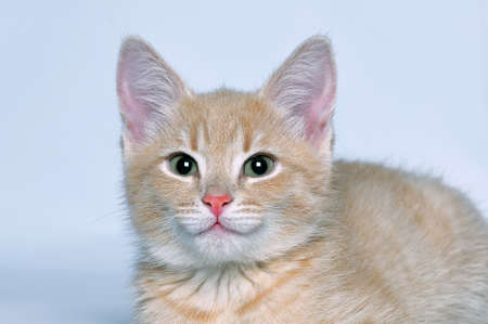 Muzzle cute lovely red kitten who looks at the camera on a gray background. Close up. Lizenzfreie Bilder