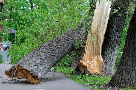 Broken tree fell on the asphalt and closed the pedestrian road in the town