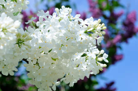 lillac: Branches of white and violet lilac against a blue sky