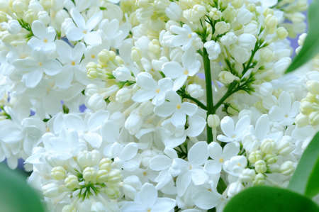 lillac: Spring lilac white flowers on floral background Stock Photo