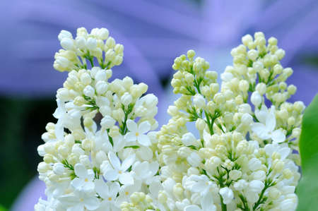 lillac: Branches with flowers of white lilac on an abstract purple background