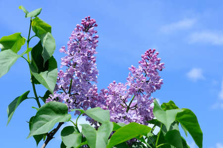 lillac: Branches with flowers  of violet lilac against a blue sky