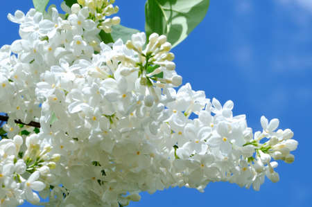 lillac: Branches of white lilac against a blue sky