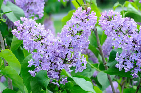 lillac: Branches with flowers of purple violet lilac on a background of foliage