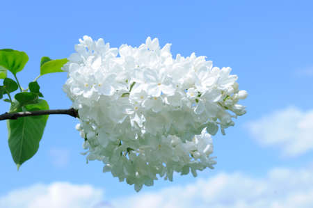 lillac: Branch with flowers of white lilac against a blue sky