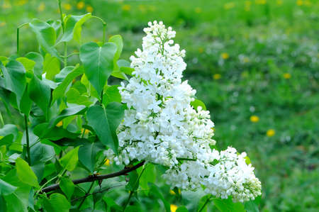 lillac: Branches with flowers of white lilac on a background of foliage Stock Photo