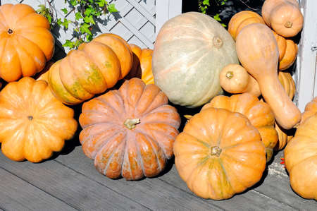 Aa lot of pumpkins of different forms and sizes on a wooden floor against the background of a wooden fence