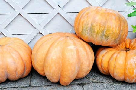 Big yellow round pumpkins against the background of a white wooden fence Lizenzfreie Bilder