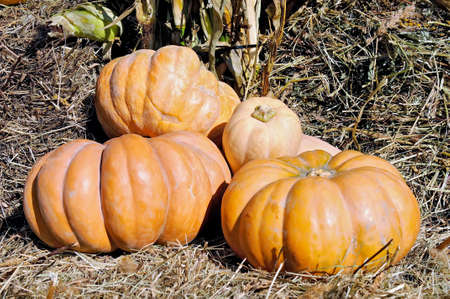 Several yellow pumpkins on straw.
