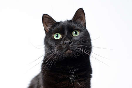 Portrait of a muzzle of a young black cat on a white background looking in the camera. Studio shooting.