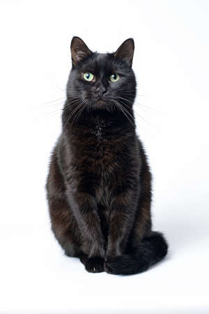 Portrait of a young black cat sitting on a white background looking in the camera. Studio shot. Stock Photo