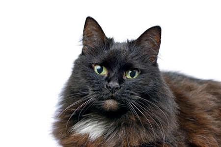 Studio portrait of the black cat isolated on a white background Standard-Bild