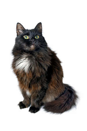 Schwarze Katze, die oben lokalisiert auf weißem Hintergrund sitzt und schaut. Studioaufnahmen. Standard-Bild
