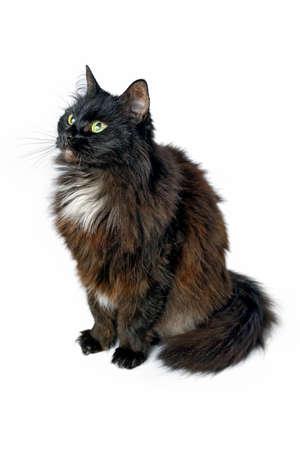 黒猫が座って、白い背景に孤立して見上げる。スタジオ撮影。