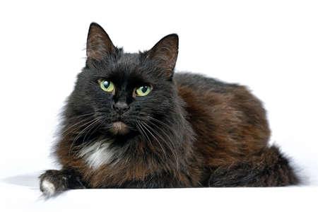 Die schwarze Katze, die lokalisiert auf einem weißen Hintergrund lokalisiert wird, betrachtet die Kamera. Dreharbeiten im Studio