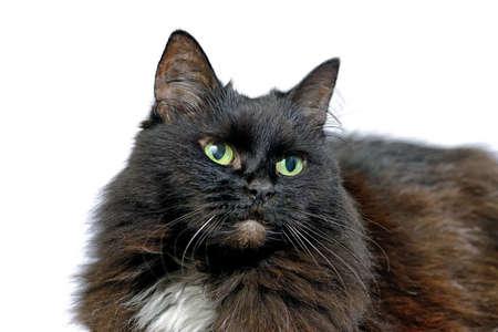 Studio Portrait der schwarzen Katze auf einem weißen Hintergrund Standard-Bild