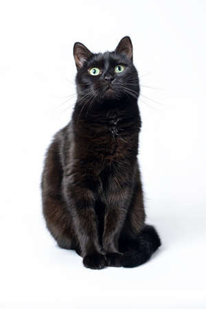 Portrait einer jungen schwarzen Katze, die auf einem weißen Hintergrund schaut in der Kamera sitzt. Studioaufnahme.