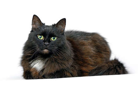 Black cat is lying isolated on a white background is looking at the camera. Shooting in the studio