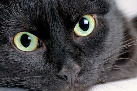 Studio portrait of the head of a young black cat on a white background, looking at the camera. Close up
