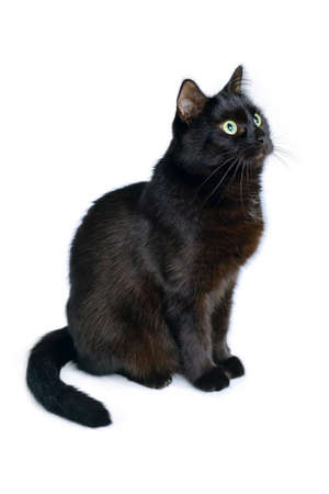 Studio portrait of the young black cat is sitting on a white background, is isolated on white