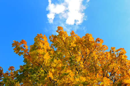 Bottom view of a maple tree with yellow and green autumn leaves against a blue sky with white clouds