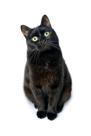 Studio portrait of the young black cat is sitting on a white background . Standard-Bild