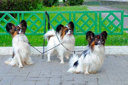 Three small dogs of the Papillon breed wait for the owner near the lawn with a metal fence