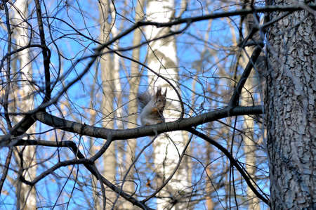 Red squirrel Sciurus vulgaris in Latin sits on a branch against a background of trees and blue sky Stock Photo