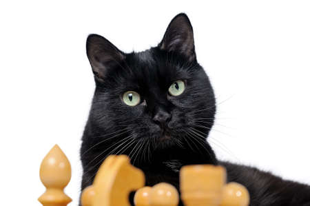 Portrait of a black cat with chess pieces isolated on white background. Black cat and white chessmen.