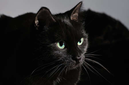 Portrait of a muzzle of a black cat on a black background