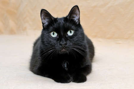 Cute black cat snugly lying on a plaid stretching its paws and looking at the camera. Banque d'images