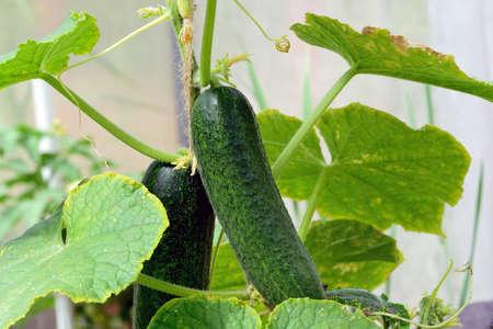 Green cucumber on a branch. Juicy fresh cucumber   of leaves. Macro shooting Stok Fotoğraf