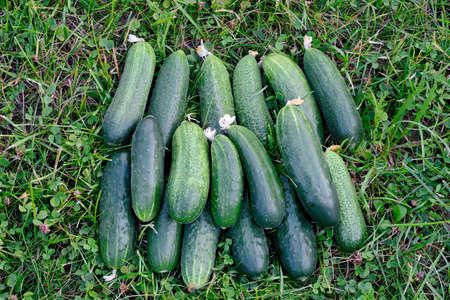 Fresh green cucumbers on green grass. Crop of green cucumbers. Stok Fotoğraf