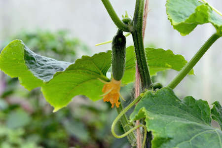 Small green cucumber on a branch with yellow flowers.