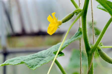 Small green cucumber on a branch with yellow flowers Stok Fotoğraf