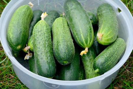 Fresh green cucumbers in a plastic container on green grass