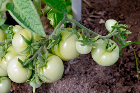 Small green tomatoes on a branch.