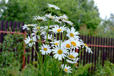 A bouquet of white chamomile flowers