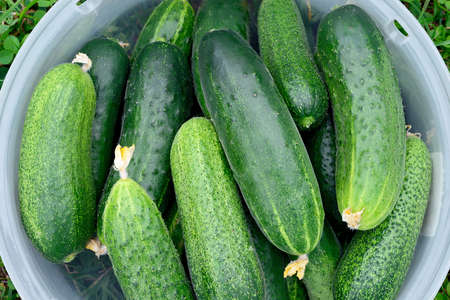 Fresh green cucumbers in a plastic container on green grass. Stok Fotoğraf