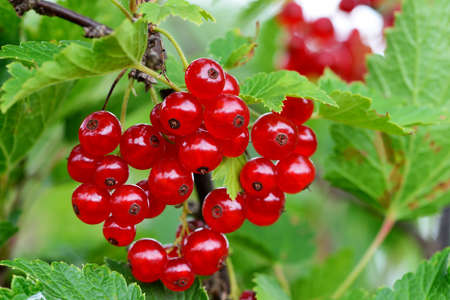 Ripe red currant berries on a branch. Stok Fotoğraf