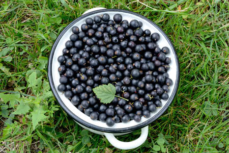 Black currant berries in a metal pan on the green grass.