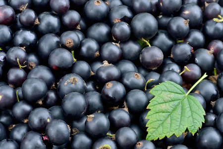 Berries of ripe black currant and one green leaf of black currant Stok Fotoğraf