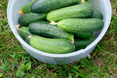 Fresh green cucumbers in a plastic container on green grass. Stock Photo