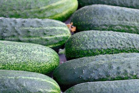 Crop of green cucumbers. Macro shooting Stok Fotoğraf