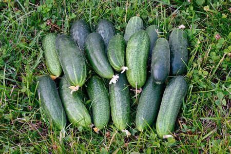 Fresh green cucumbers on green grass. Stok Fotoğraf