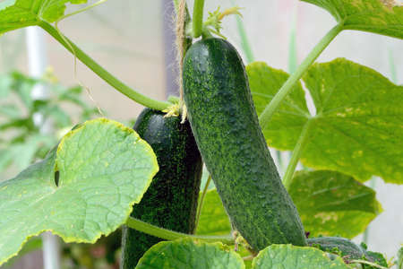 Green cucumber on a branch.