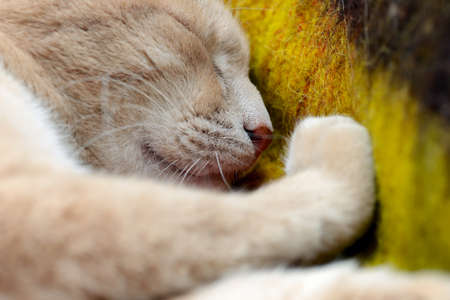 Muzzle of a sleeping red cat. Large portrait of a ginger cat sleeping on a woolen blanket. Shallow depth of field