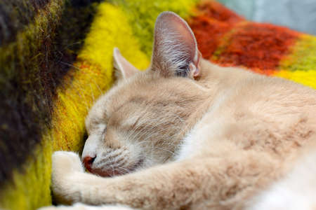 Red cat sleeps on a woolen blanket. Portrait of a sleeping ginger cat on a colored plaid
